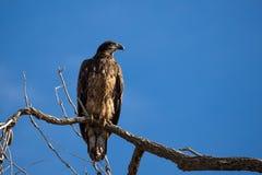 Aigle chauve juvénile dans l'arbre Image libre de droits