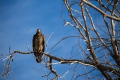 Aigle chauve juvénile dans l'arbre Photos stock