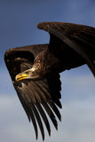 Aigle chauve juvénile en vol Images libres de droits