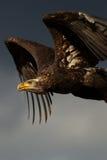 Aigle chauve juvénile en vol Photographie stock libre de droits