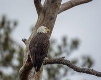 Aigle chauve, leucocephalus de Haliaeetus, observant d'un arbre images stock