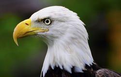 Aigle chauve méridional Images stock