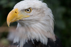 Aigle chauve mûr Photos libres de droits