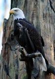 Aigle chauve majestueux images stock