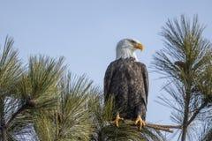 Aigle chauve majestueux sur la branche photos libres de droits