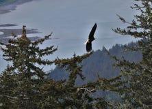 Aigle chauve montant au-dessus des arbres à Juneau Alaska images stock