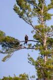 Aigle chauve non mûr sauvage été perché fortement dans un arbre photographie stock