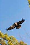 Aigle chauve non mûr sauvage en vol Images stock