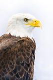 Aigle chauve ou aigle américain image stock