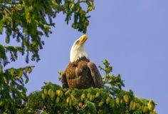 Aigle chauve sauvage d'Alaska Image libre de droits