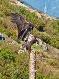 Aigle chauve se reposant sur un poteau Photos stock