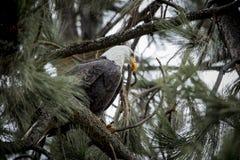 Aigle chauve sur la branche dans un arbre image libre de droits