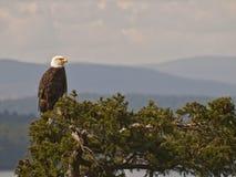 Aigle chauve sur la cime d'arbre Image libre de droits