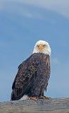 Aigle chauve sur la frontière de sécurité images stock