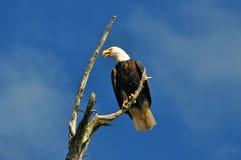 Aigle chauve sur la perche. Photo stock