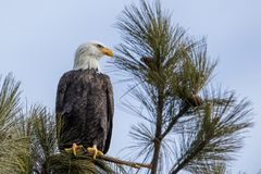 Aigle chauve vigilant dans un arbre photographie stock