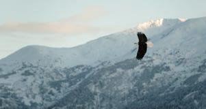 Aigle chauve volant. photographie stock libre de droits