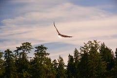 Aigle chauve volant Images libres de droits