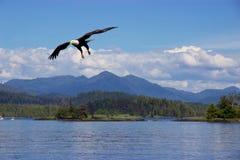 Aigle chauve volant au-dessus de l'océan pacifique près de prince Rupert, Canada photo stock