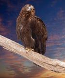 Aigle contre le ciel de coucher du soleil Photos libres de droits