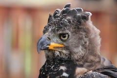 Aigle couronné photo stock