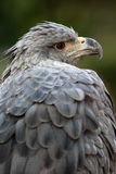 aigle couronné Photos stock