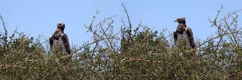 Aigle couronné par Africain (coronatus de Stephanoaetus) Photographie stock libre de droits