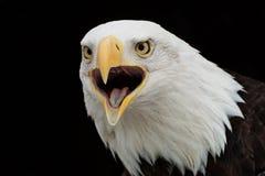 aigle criant Photo libre de droits