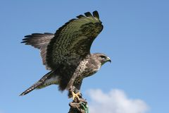 Aigle d'écart image stock