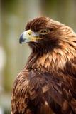 Aigle d'or Photo libre de droits