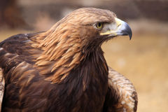 Aigle d'or Images stock