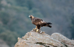 Aigle d'or Photo libre de droits