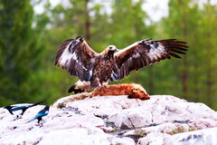 Aigle d'or photo stock