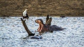 Aigle d'hippopotame et de poissons en parc national de Kruger, Afrique du Sud Images libres de droits