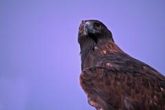 Aigle d'or, orientation sur des yeux Photographie stock libre de droits