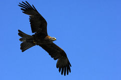 Aigle d'or volant Photographie stock libre de droits