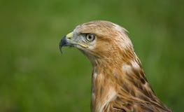 Aigle dans le profil Photos stock