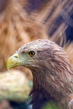 Aigle dans le sauvage Image stock
