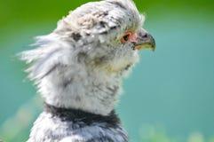 Aigle de bébé Image stock