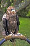 Aigle de Bateleur Images stock