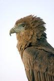 Aigle de Bateleur Photo stock