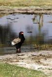 Aigle de Bateleur photographie stock libre de droits