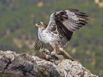 Aigle de Bonelli Photos libres de droits