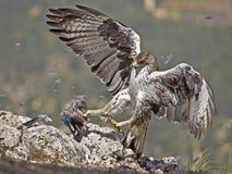 Aigle de Bonelli Images libres de droits