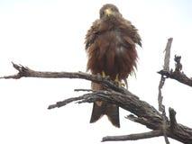 Aigle de chéri Photo libre de droits