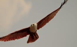 Aigle de glissement Photographie stock libre de droits