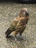 Aigle de Kea New Zealand Photographie stock