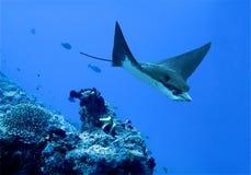 Aigle de mer   Image stock