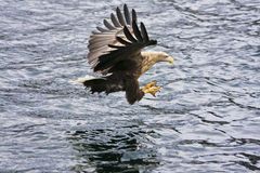 Aigle de mer Photo stock