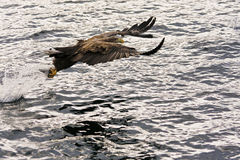 Aigle de mer Image libre de droits